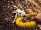 Скачать фото Вязка собак Предлагается на вязку 39085199 в Новосибирске