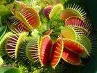 Фото в Домашние животные Растения Растения-хищники - удивительные плотоядные в Новосибирске 700