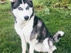 Уникальное изображение Вязка собак Кобель Хаски для вязки,прекрасный голубоглазый красавец! 45946630 в Новосибирске