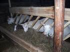 Уникальное фото Другие животные козочка зааненского типа 1год, 51439053 в Черепаново