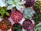 Скачать бесплатно фото Растения Суккуленые растения  55917819 в Новосибирске