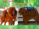 Тибетский мастифф фото в Новосибирске
