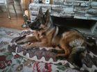 Свежее фотографию Вязка собак Немец ищет достойную невесту для вязки 63670286 в Новосибирске