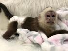 Просмотреть фотографию Другие животные Мальчик и девочка, монахи капуцины, 71901858 в Новосибирске