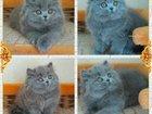 Клубные котята шоу класса