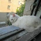Белый пушистый кот (или кошка)