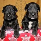 Шикарные щенки Немецкого дога