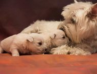 Вест Хайленд Вайт Терьер чистопородные щенки Открыты к резервированию щенки вест