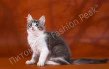 Продам котят породы Норвежская Лесная