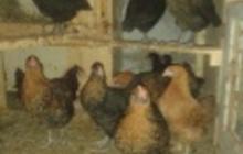 Цыплята, подростки, куры и петушки породы московская черная