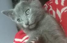 Русские голубые котята 2 месяца Новосибирск