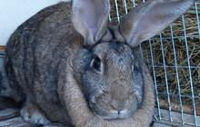 Продам кроликов мясных пород в возрасте от 60 дней с личного подсобного хозяйства