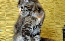 Кошечка мейн кун из питомника