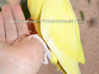 Свежее foto Птички Ручной ожереловый попугай – окрас золотой, 32756187 в Новосибирске