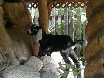 Свежее фото Другие животные нубийский козленок 33098428 в Новосибирске