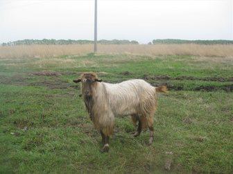 Увидеть foto Другие животные продам козла 33266164 в Новосибирске