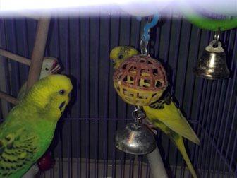 Скачать бесплатно изображение  Волнистые попугаи 34742570 в Новосибирске