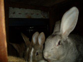 Смотреть изображение Грызуны продам кроликов 34852807 в Новосибирске