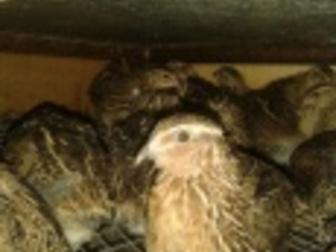Новое изображение Птички Перепела, перепелята, цыплята японской яйценоской породы 36424674 в Новосибирске