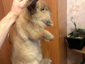 Увидеть изображение Грызуны Продам голландского вислоухого кролика 38202675 в Новосибирске