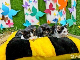 Замечательные котята - мальчики - Оскар, Томас и Феликс в поисках дома,  Возраст 2,5 месяца,   Привиты, в лоток на отлично, имеют ветпаспорт,  Мальчишки - подкидыши в Новосибирске