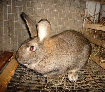 Фотография в Домашние животные Грызуны Продам кроликов мясных пород. Все кролики в Новосибирске 500