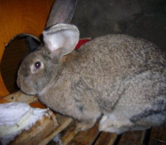 Фото в Домашние животные Другие животные Продам кроликов мясной породы Серый Великан в Новосибирске 500
