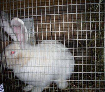 Фотография в Домашние животные Грызуны Продам кроликов мясной породы Белый Великан. в Новосибирске 500