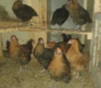 Изображение в Домашние животные Птички Продам кур мясо-яичной породы, Московская в Новосибирске 120