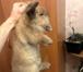 Фото в Домашние животные Грызуны Возраст около года, мальчик, привит. Тор в Новосибирске 5000