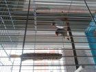 Скачать изображение Птички зебровые амадины 33772379 в Новоуральске