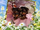 Фотография в Собаки и щенки Продажа собак, щенков Красивые высокопородные щенки Йоркширского в Новом Уренгое 25000