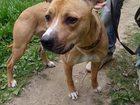 Изображение в Собаки и щенки Продажа собак, щенков В добрые и ответственные руки отдается двухлетняя в Обнинске 0