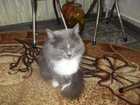 Фото в Кошки и котята Вязка Сибирская красавица кошечка. 8 лет не имеющая в Омске 0