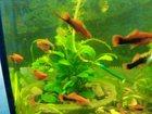 Фото в Рыбки (Аквариумистика) Аквариумные рыбки 5 взрослых скалярий. , кубинские меченосцы в Омске 0
