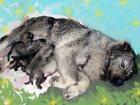 Фото в Собаки и щенки Продажа собак, щенков Продам щенков кавказской овчарки. Вторая в Омске 7000