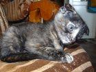 Изображение в Кошки и котята Продажа кошек и котят Необычный трехцветный окрас, большие висячие в Омске 1000