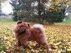 Изображение в Собаки и щенки Вязка собак Имеет родословную, все прививки. возраст в Омске 0