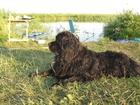 Foto в Собаки и щенки Продажа собак, щенков Срочно ищет дом НЬЮФАУНДЛЕН ! В связи со в Омске 0