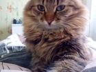 Фото в Кошки и котята Вязка Сибирская красотка срочно ищет котика для в Омске 100