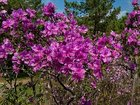 Смотреть фото Туры, путевки Авто Тур на Майские праздники Цветение Маральника на Алтае 38656521 в Омске