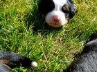 Фотки и картинки Бернская пастушья собака смотреть в Омске