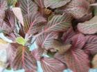 Свежее foto Растения Фиттония 39442802 в Омске