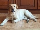 Уникальное foto Вязка собак Молодой, красивый, темпераментный интеллигент 69181999 в Омске