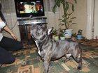 Фотография в Собаки и щенки Вязка собак Кобель французского бульдога ищет подружку. в Орехово-Зуево 0