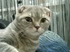 Изображение в Кошки и котята Вязка Кот Патрик ищет первую любовь. Коту 8 месяцев. в Орле 1000