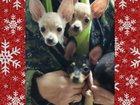 Фото в Собаки и щенки Продажа собак, щенков продаются щенки той-тейрьера (мини), 2 девочки, в Орле 10000