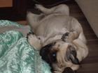 Новое изображение Вязка собак ищем парня мопса для случки 34643101 в Курске