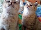 Фото в Кошки и котята Продажа кошек и котят Предлагаются шотландские котята от родителей в Орле 6000