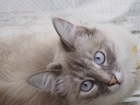 Фотография в Кошки и котята Вязка Девочка, 2 г, развязана, привита. в Орле 500